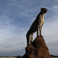 An African Cheetah Guards Its Territory by Chris Johns