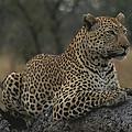 An Alert Leopard Rests On A Fallen Tree by Kim Wolhuter