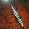 An Alligator Walks On The Muddy Bottom by Melissa Farlow