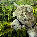 An Alpaca In Vail by Madeline Ellis