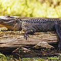 An American Alligator On A Log by Richard Nowitz