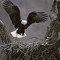 An American Bald Eagle Flies by Roy Toft