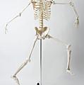 An Anatomical Skeleton Model Running And Jumping by Rachel de Joode
