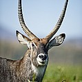An Antelope Standing Amongst Tall by David DuChemin