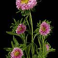 An Aster Flower Aster Ericoides by Joel Sartore
