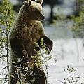 An Brown Bear Ursus Arctos Runs by Mattias Klum