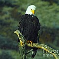 An Eagle Staring by Jeff Swan
