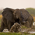 An Elephant Charges When Startled by Michael Nichols