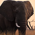 An Elephant In The Okavango Delta by Gianluca Colla