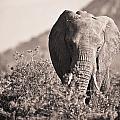 An Elephant Walking In The Bush Samburu by David DuChemin