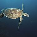 An Endangered Green Sea Turtle Swimming by Tim Laman