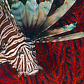 An Invasive Indo-pacific Lionfish by Karen Doody