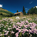 An Old Miners Cabin With Purple Asters by Richard Nowitz