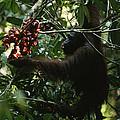 An Orangutan Gorges Himself by Tim Laman