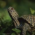 An Ornate Box Turtle Surveys by Joel Sartore