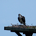 An Osprey In Maryland by Kimmary MacLean