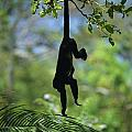 An Unidentified Monkey Hangs by Todd Gipstein