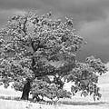 Ancient Oak by Jim And Emily Bush