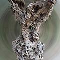 Ancient Old Olive Tree by Colette V Hera  Guggenheim