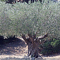 Ancient Old Olive Tree In South France by Colette V Hera  Guggenheim