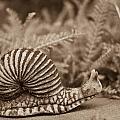 Ancient Snail by Douglas Barnett