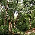 Ancient Woodland by Bob Kemp