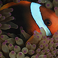 Anemonefish In Purple Tip Anemone by Todd Winner