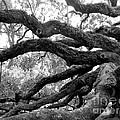 Angel Oak Tree  by Melody Jones