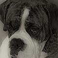Angelic Boxer by DigiArt Diaries by Vicky B Fuller