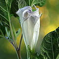 Angel's Trumpet Bud by Angie Vogel