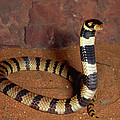Angolan Coral Snake Defensive Display by Michael and Patricia Fogden