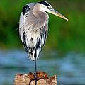 Angry Bird by Bill Dodsworth