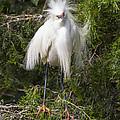 Angry Bird Snowy Egret In Breediing Plumage by Bill Swindaman