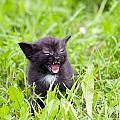 Angry Kitten by Michal Boubin