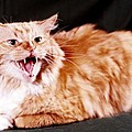 Angry Orange Tabby by Larry Allan