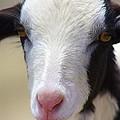 Anguilla Goat by Jennifer Lamanca Kaufman
