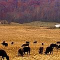 Angus And Oaks  Farm by Randall Branham