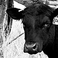 Angus Cow In Black And White by Tam Graff