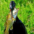 Anhinga And The Fish by Bill Dodsworth