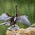 Anhinga On Turtle by Marx Broszio
