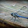 Anisoptera by Priscilla Richardson
