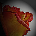 Anniversary Rose by Debbie Portwood
