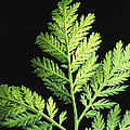 Annual Wormwood by Science Source