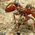 Ant Dorymyrmex Sp Workers Climbing by Mark Moffett
