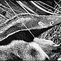 Ant Eater by Perla Copernik