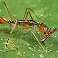 Ant Showing Large Mandibles Guyana by Piotr Naskrecki