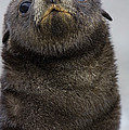 Antarctic Fur Seal Arctocephalus by Suzi Eszterhas