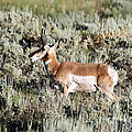 Antelope In Lamar Valley by Shawn Naranjo