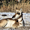 Antelope In Wintertime by Marion Muhm