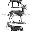 Antelopes by Granger
